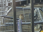 little bird chilln on a cart at hyvee