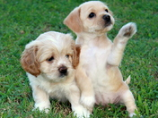 Playful Pups