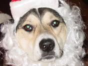"""Wiggles as """"Santa Paws"""""""