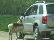 Pronghorn licks safari car