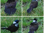 PicMonkey -starling.jpg