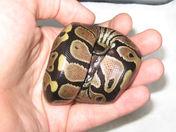 Cute baby ball python