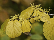 Witch Hazel in Fall color and in bloom