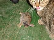 Ripple dines on rabbit