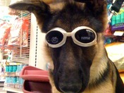 Zeus with his doggles