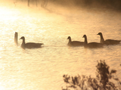 Enchanted Geese