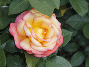 Storz Family Rose Garden