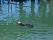 Otter at Santa Cruz Harbor