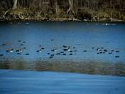 Ducks on Iceing Lake