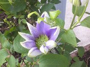 Flowering Clematis Flower