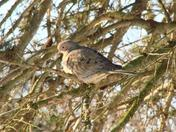 Mourning Dove, Columbia, PA