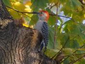 Red Belly Woodpecker-Manheim, PA
