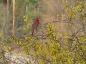 Cardinal in a Yellow Bush