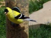 Canary Finch on Feeder