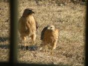 Hawk Mates - Lewisberry area