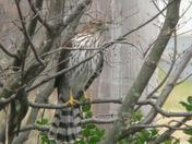 An immature Cooper and Hawk hang out near a feeder in Springettsbury Township ho