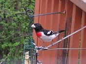 Grosbeak, Carroll Valley, May 2009