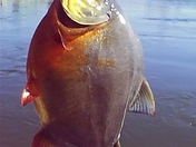 Piranha At Peach Bottom? Leave Comments Below