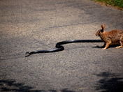 Snake & Rabbit 1