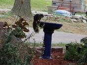 Squirrel at the bird bath