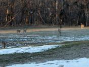 Deer at Mandan Park