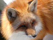 Red Fox . . . up close