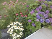 Cone Flowers & Hydrangea ~