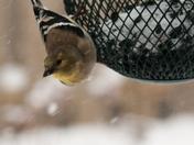 Goldfinch Feeding In The Snow