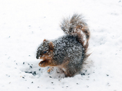 Frosted Squirrel