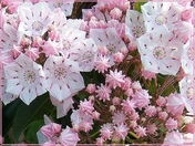 Mountain Laurel - Pa. State Flower
