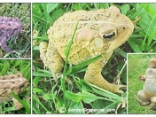 Golden American Toad