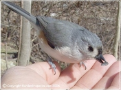Tufted Titmouse gets a Sunflower Seed