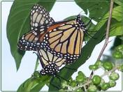 Monarch Butterflies Matingh on Poke Weed