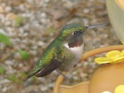 Maine Hummingbird