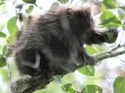 porcupine feeding in back yard
