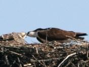 osprey mother feedind baby