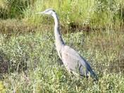 blue heron on side of road