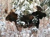 Two headed moose