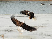 Two Eagles fight over one fish