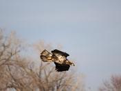 Juvenile Eagle heading down for a dive