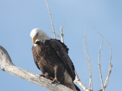 Lake Manawa Eagles Feb 16 & 17th 2013 400.JPG