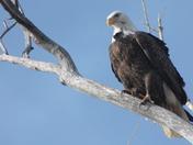 Lake Manawa Eagles Feb 16 & 17th 2013 427.JPG
