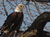 Lake Manawa Eagles Feb 16 & 17th 2013 552.JPG