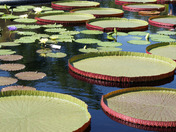 among the giant lily pads