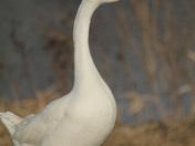 the manawa goose