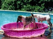 Dogs Playing in the Kiddie Pool