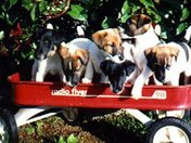 Foxhaven Farm 1st Litter of Smooth Fox Terriers