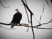 lake manwa eagle