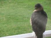 Cooper Hawk on our porch November 2009