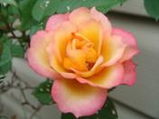 A Very PRETTY rose.